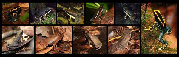 Mosaïque de photos d'amphibiens diurnes et de litière © J. Devillechabrolle