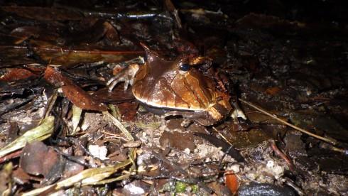 Ceratophrys cornuta (3)