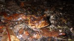 Ceratophrys cornuta (5)
