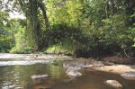 Arbre recouvert d'épiphyte au dessus de la rivière Arataye, aux Nouragues