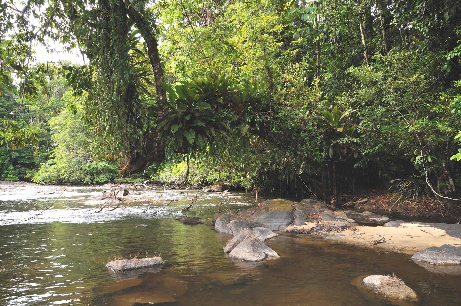 Arbre recouvert d'épiphytes au dessus de la rivière Arataye © V. Pelletier