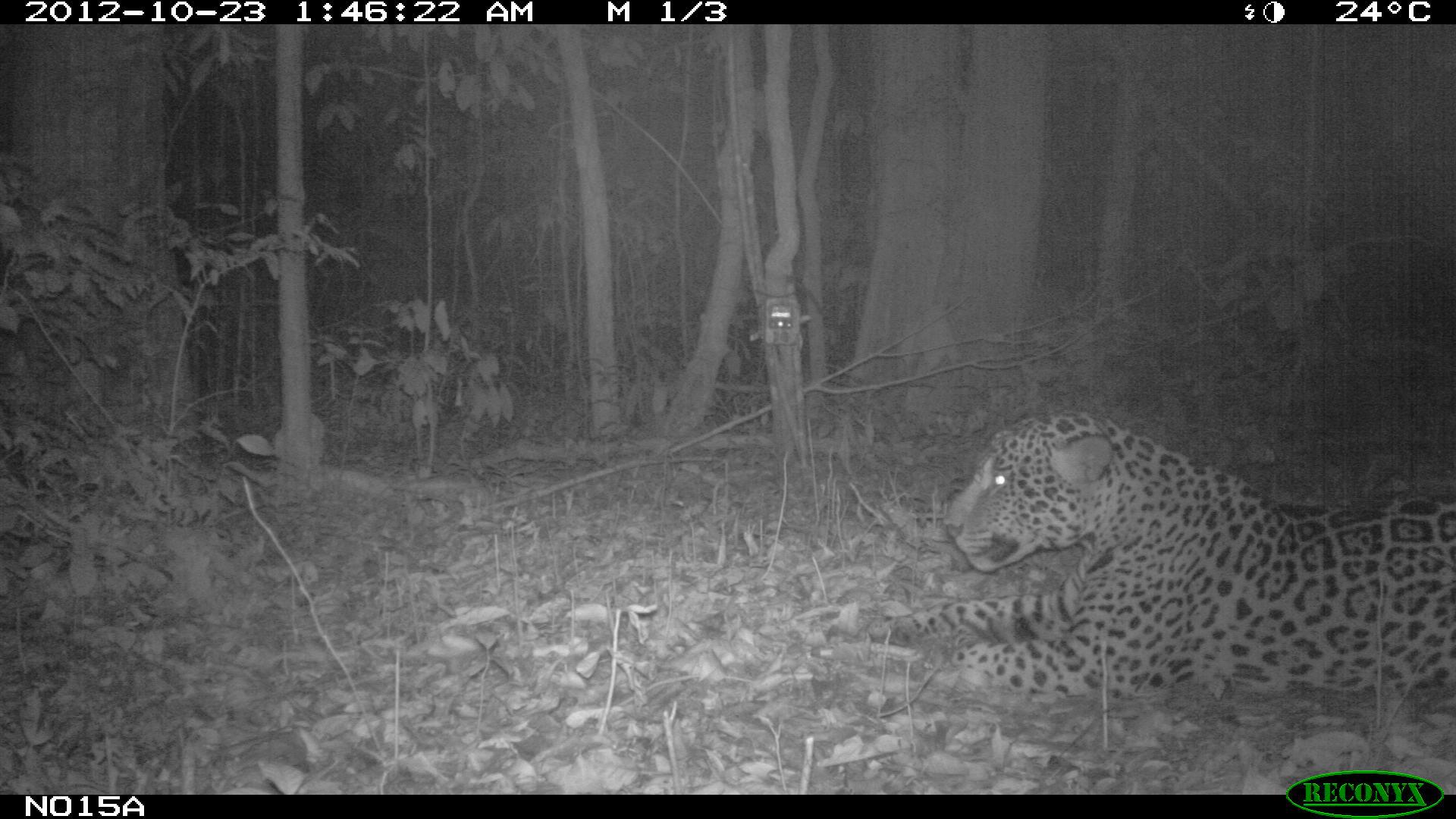 Jaguar, Panthera onca © RNNouragues et Kwata
