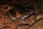 Leptodactylus knudseni 2