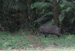 Pécari à collier (Pecari tajacu)