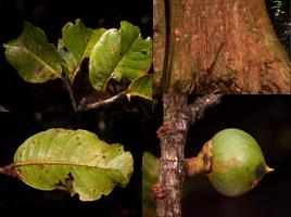 Pouteria-maxima-©-C.E.T.-Paine