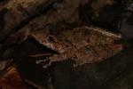 Scinax proboscideus