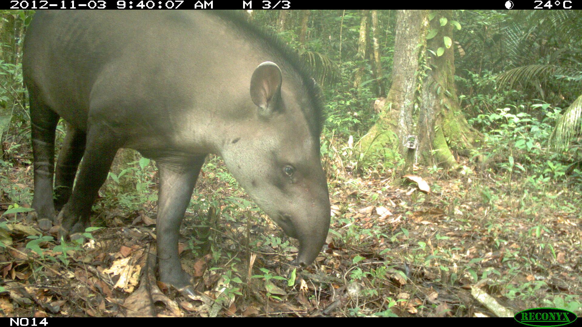 Tapir, Tapirus terrestris