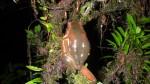 Trachycephalus coriaceus (1)