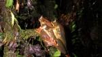Trachycephalus coriaceus (7)